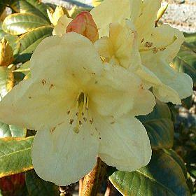 Rhododendron 'Andra'