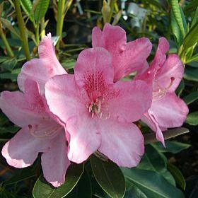 Rhododendron 'Meteor'