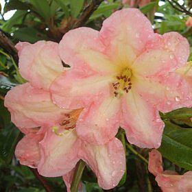 Rhododendron 'King of Shrubs'