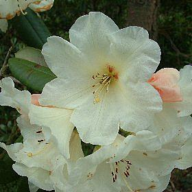 Rhododendron 'Lady Bessborough'