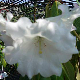 Rhododendron 'Lady Horlick'