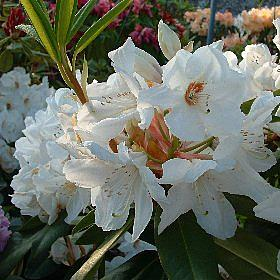 Rhododendron 'Langworth'