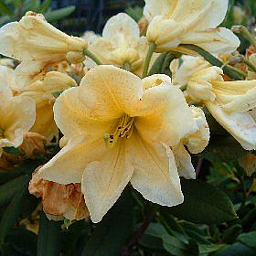 Rhododendron 'Loth Lorien Yellow'