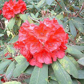 Rhododendron 'Late Red'