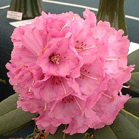 Rhododendron 'Colonel Rogers'