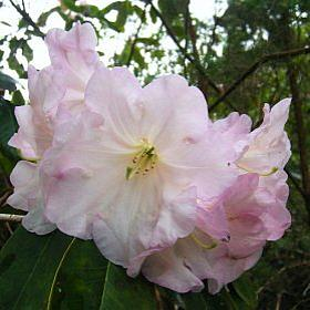 Rhododendron 'Naomi Early Dawn'