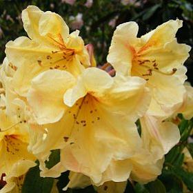 Rhododendron 'New Comet'
