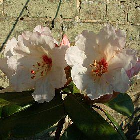 Rhododendron 'Prelude'