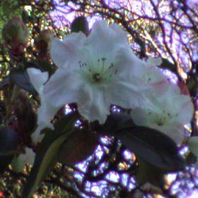 Rhododendron griffithianum