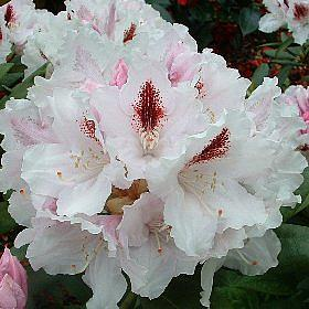 Rhododendron 'Harkwood Premiere'