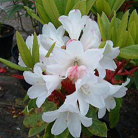Rhododendron 'Coral Reef'