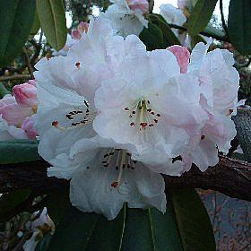 Rhododendron 'Seamew'