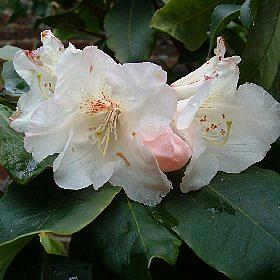 Rhododendron 'Seashell'