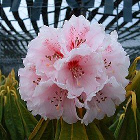 Rhododendron 'The Dowager'