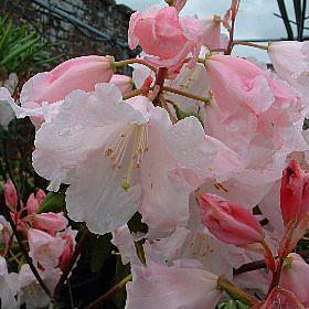 Rhododendron 'Titness Delight'