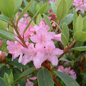 Rhododendron 'Puncta'