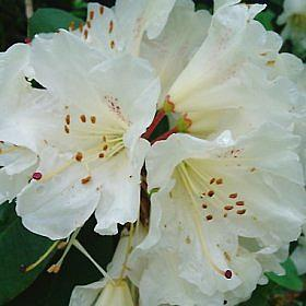 Rhododendron 'W.C.Slocock'
