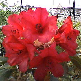 Rhododendron 'Whitney's Dwarf Red'