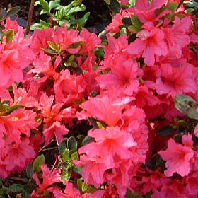 Azalea 'Little Beauty'