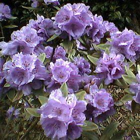 Rhododendron hippophaeoides F22197