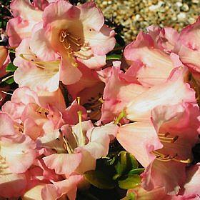 Rhododendron 'Lovely William'
