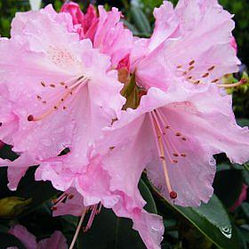 Rhododendron 'Spring Pearl'