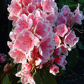 Rhododendron 'Janet Ward'
