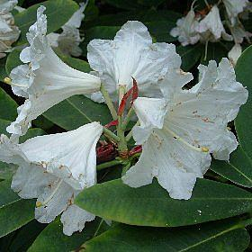 Rhododendron 'Harry Clacy'