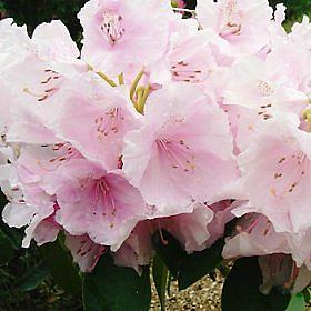 Rhododendron 'Mother of Pearl'