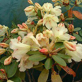 Rhododendron 'General Practitioner'