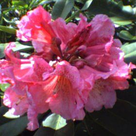 Rhododendron 'Pink Leopard'