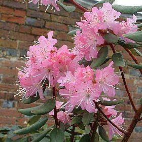 Rhododendron racemosum Rock Rose AM AGM