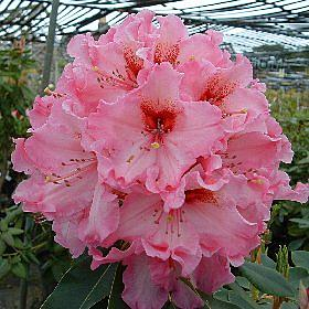 Rhododendron 'One Thousand Butterflies'