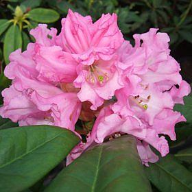 Rhododendron 'Calfort seedling'
