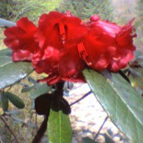Rhododendron beanianum