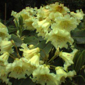 Rhododendron 'Jalisco Elect'