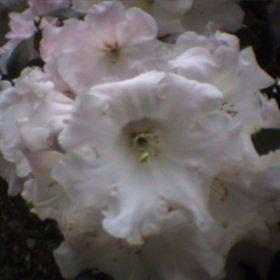 Rhododendron 'Loderi Pink Coral - Graft'