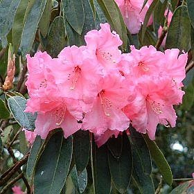 Rhododendron 'H.Whitner x Georgette'