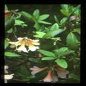Rhododendron 'Salmon Trout'