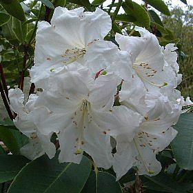 Rhododendron 'Loderi Dairy Maid'