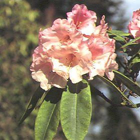 Rhododendron 'Gay Lady'