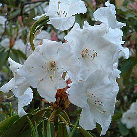 Rhododendron griffithianum White form