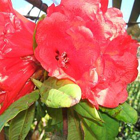 Rhododendron 'Gaul'