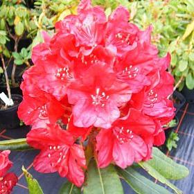 Rhododendron 'Mars'