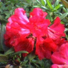 Rhododendron 'Jan Bee'