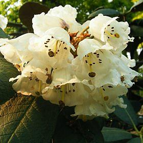 Rhododendron 'decipens (Natural Hybrid)'