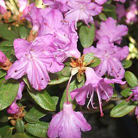 Rhododendron 'Sapphire'