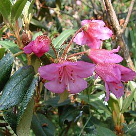 Rhododendron heliolepis var.heliolepis