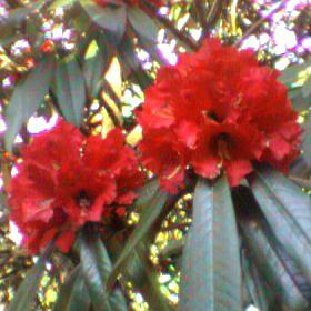 Rhododendron arboreum form Blood Red