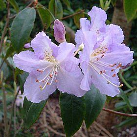 Rhododendron 'Eleanore'